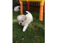 Shih tzu+ Yorkshire terrier
