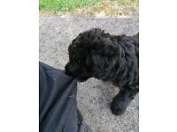 Bedlington terrier dog pups