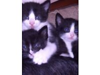 2 male black and white kittens ready now