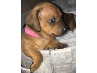 Red / Brown smooth coat Miniature Dachshund !