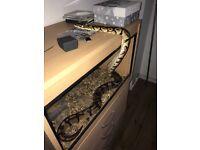 Female pastel ball python 2500g