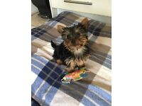 Tiny Pure Bree Yorkshire Terrier Girl