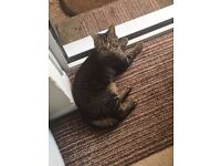 Do you recognise this cat? Male. Dark tabby. Half his tail is missing(could be recent)