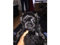 Beautiful fluffy Shishon puppies for sale