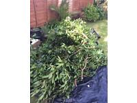 ***FREE*** Fresh bay leaves