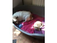 11 week old ginger female kitten for sale
