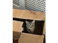 Silver/ Black Tabby Cat Missing