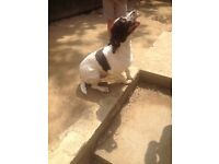 Springer spaniel for sale liver and white in colour 26 months old