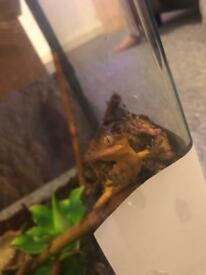Baby crested female gecko. Gecko £40. Gecko and set up £70