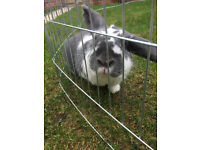 2 male rabbits for sale and double hutch
