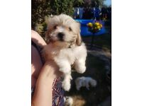 "Bichon x Shih tzu puppies (""tzuchon""/little teddy bears) - ready now from good home"