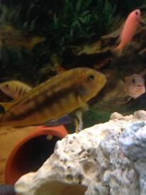 African Malawi Cichlids Fish (johannis)