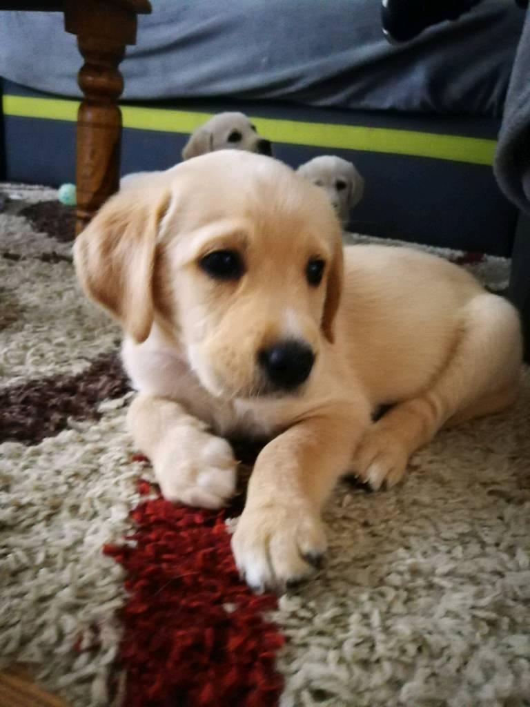 Golden Retriever X Labrador Retriever Puppies In Castlemilk
