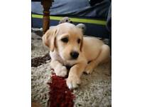 Golden Retriever X Labrador Retriever puppies