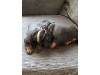 Rottweiler puppies for sale 2 girls