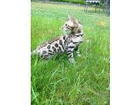 Bengal girl kitten- beautiful example- ready now