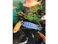 Ob and blue cichlids for sale