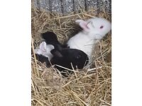 Giant house rabbit babies