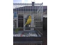 Yellow male singing canary
