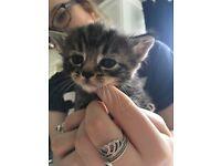 Tabby kittens handreared