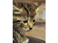 3 Beautiful cute kittens 8 weeks see details pics