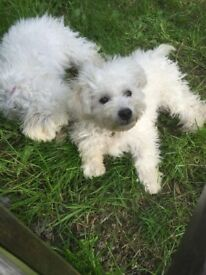 bichon puppy boy