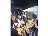 Chihuahua cross jack russel puppies