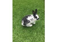Dwarf rabbit with hutch