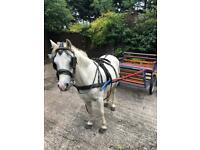 Welsh driving pony 11.2h 9 year old mare with cart and harness