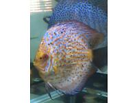 Large Discus for sale