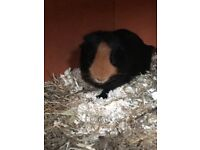 2 male guinea pigs 3 months old
