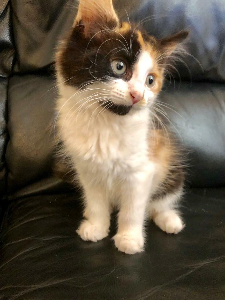 Stunning long haired fluffy female calico, De Flea'd and Litter trained ,  very friendly | in Finsbury Park, London | Gumtree