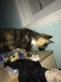 Kitten for sale due to other cat isn't getting along with her