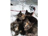 4 adorable kittens £280-£350 prices negotiable