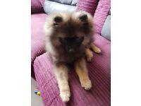 Kc registered pomeranian puppy
