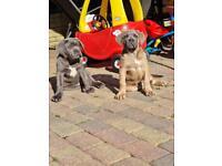 2 cane corso puppies