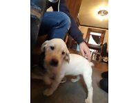 8 week old Labrador Bitch