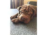 Last 3 stunning female Shar Pei puppies ready for their forever homes