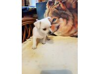 White/cream chihuahua puppy for sale