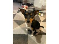 Jack Russell 8 month old