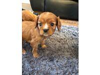 Cavalier king charles ruby boy pup