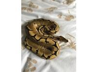 Spider royal python -ON HOLD