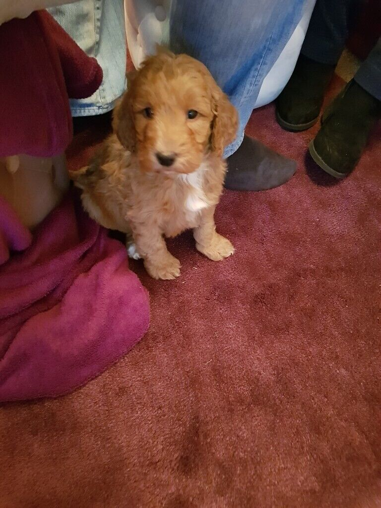 F1 Cockapoo Puppies From A Registered Breeder In Whitehaven Cumbria Gumtree