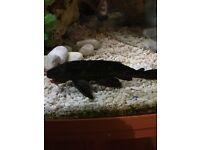suckerfish for sale, aquarium fish