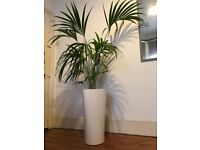 Kentia palm in white container