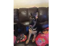 For sale German shepherd