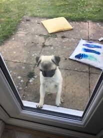 Pedigree pug for sale only a few months old - £700