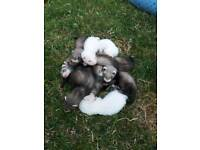 Ferret Kits for sale- Polecats and Albinos