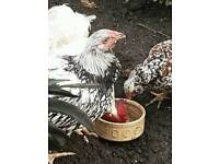 Silver laced chickens