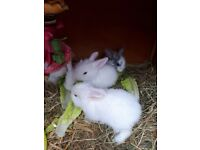 Lion head x lop baby rabbits